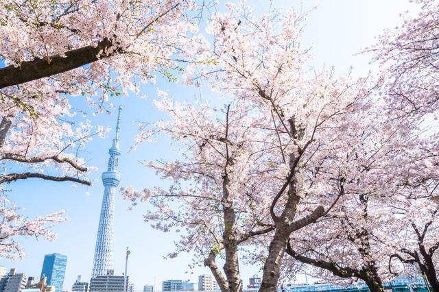下から見る桜の花