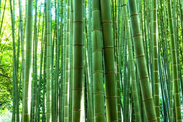 森の中の青竹