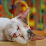 寝てる猫の画像